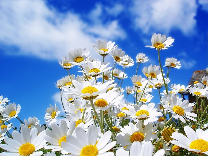 Beautiful-Daisy-Flower-Picture-21